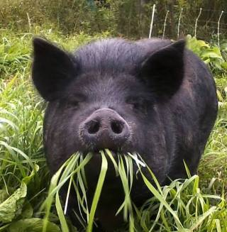 Foraging Pig at Kingbird Farm in NY